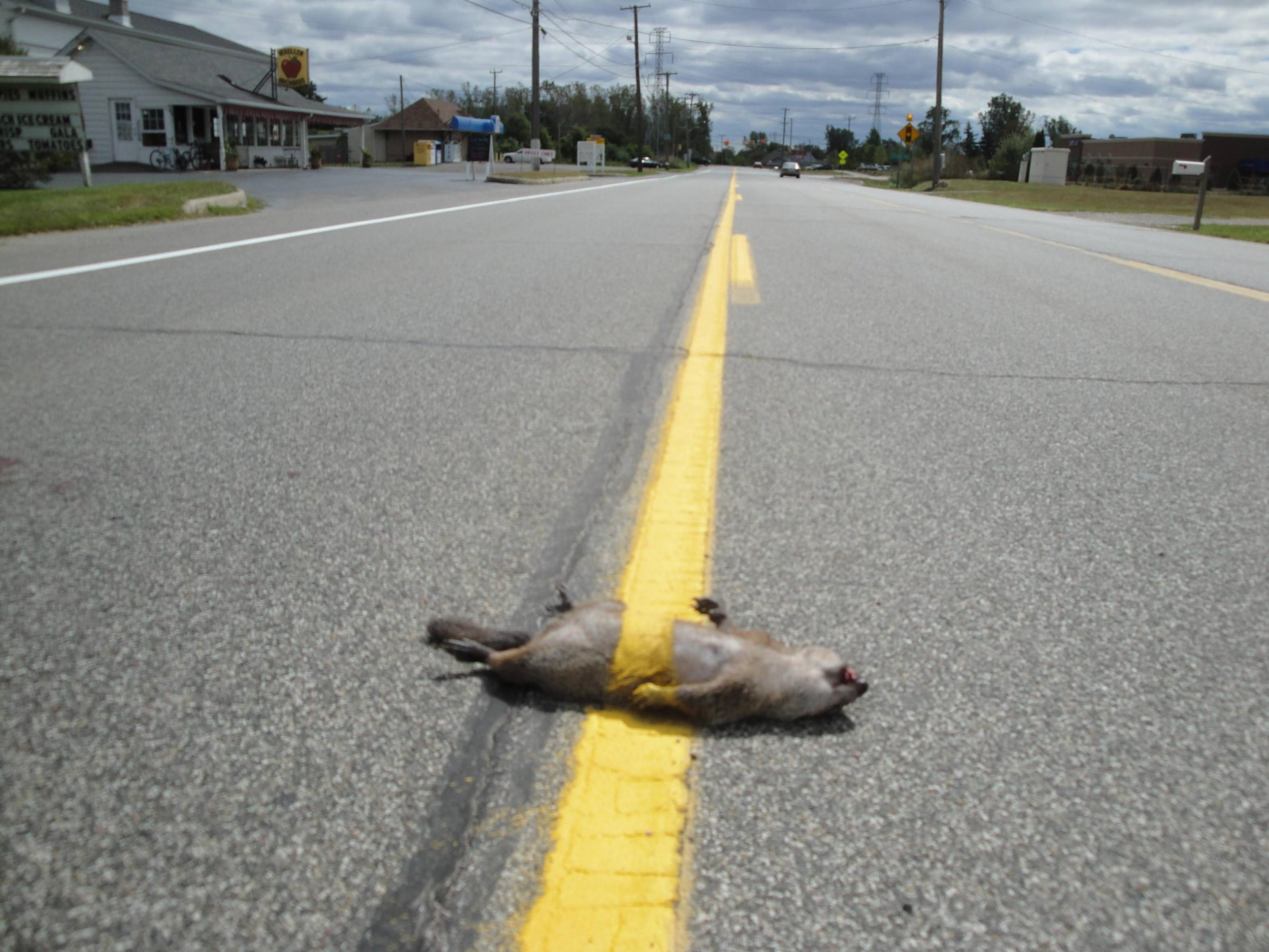 Squirrel-Funny-Road-Kill-Picture.jpg